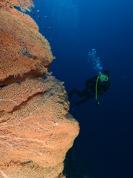 Giant Sea Fan at Soekarno Wall.. (photo by Nia Aritonang)