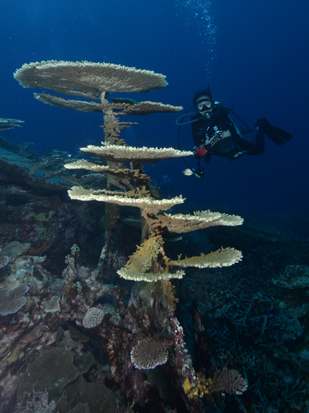Multi-level Table Coral at Lava.. (photo by Nia Aritonang)