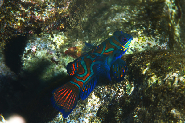 The Iconic Mandarin Fish.. (photo by Nia Aritonang)