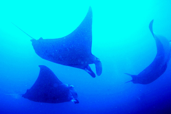 Manta Rays.. (photo by Parvita)